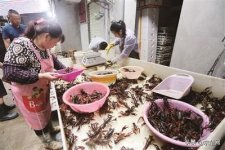 低气温导致虾苗晚出,扎堆上市小龙虾跌破10元/斤【火锅底料批发厂家直销】